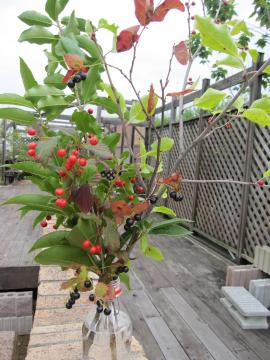 庭木の提案 アオハダ・ナツハセ゜・ヨウソメ・キンモクセイです この木の中でいちばん...  さわ