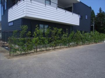 ウバメガシ植栽