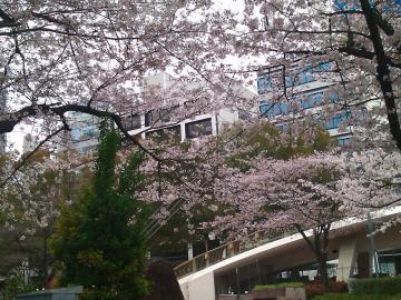 ロスアンゼルス広場 桜