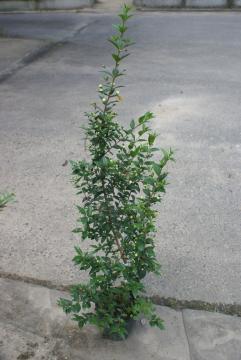 ギンバイカ【常緑・低木】