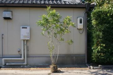 シマトネリコ【常緑・高木】
