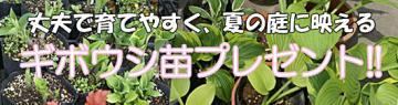 ギボウシキャンペーン【樹木屋】