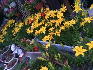 鉢植えガーデニング 夏仕様