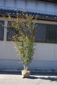 イロハモミジの画像 p1_37