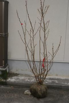 ダンコウバイ【落葉・高木】