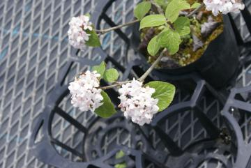 カルセファーラム【落葉・低木】花